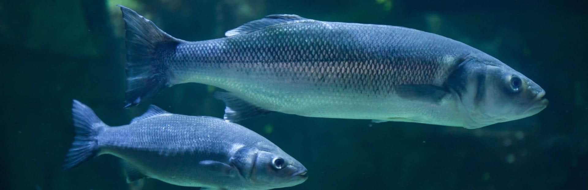 Dos ejemplares de lubina de acuicultura