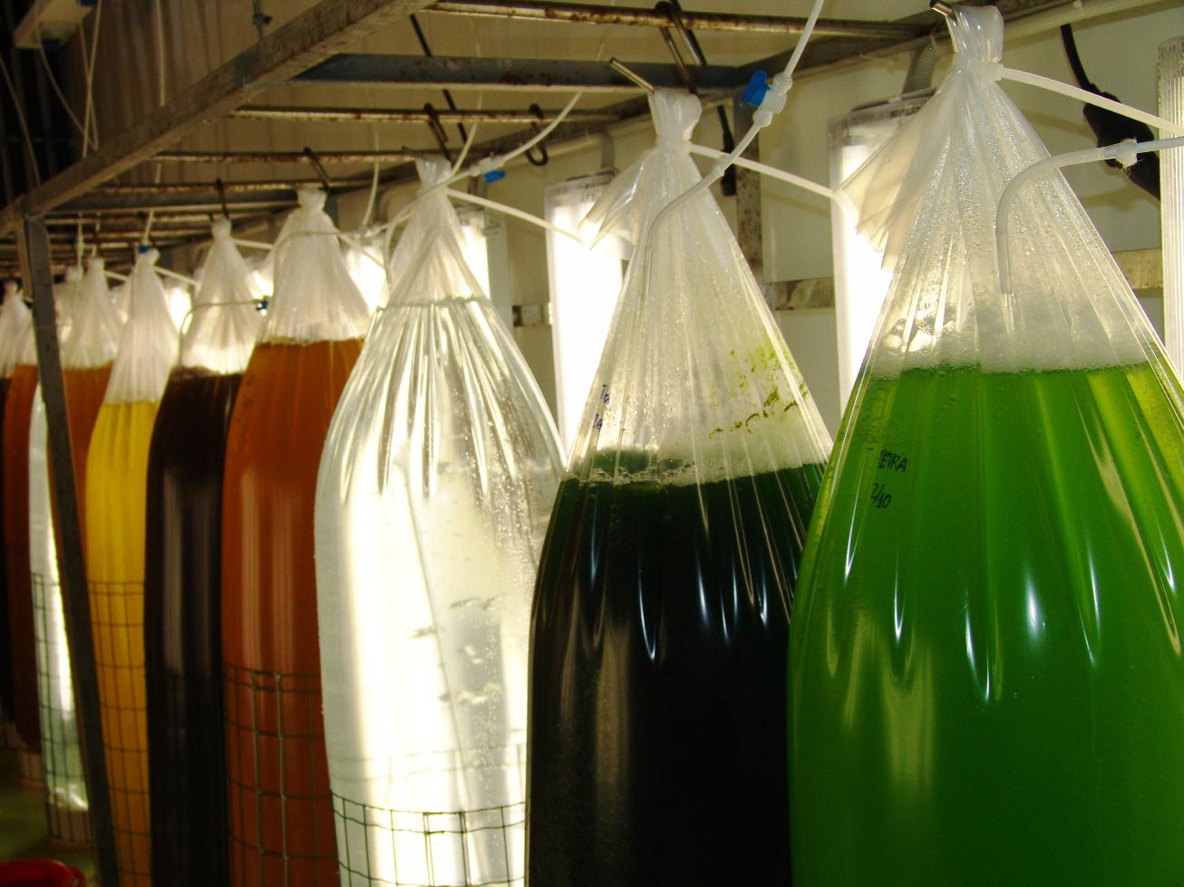 Algas acuicultura