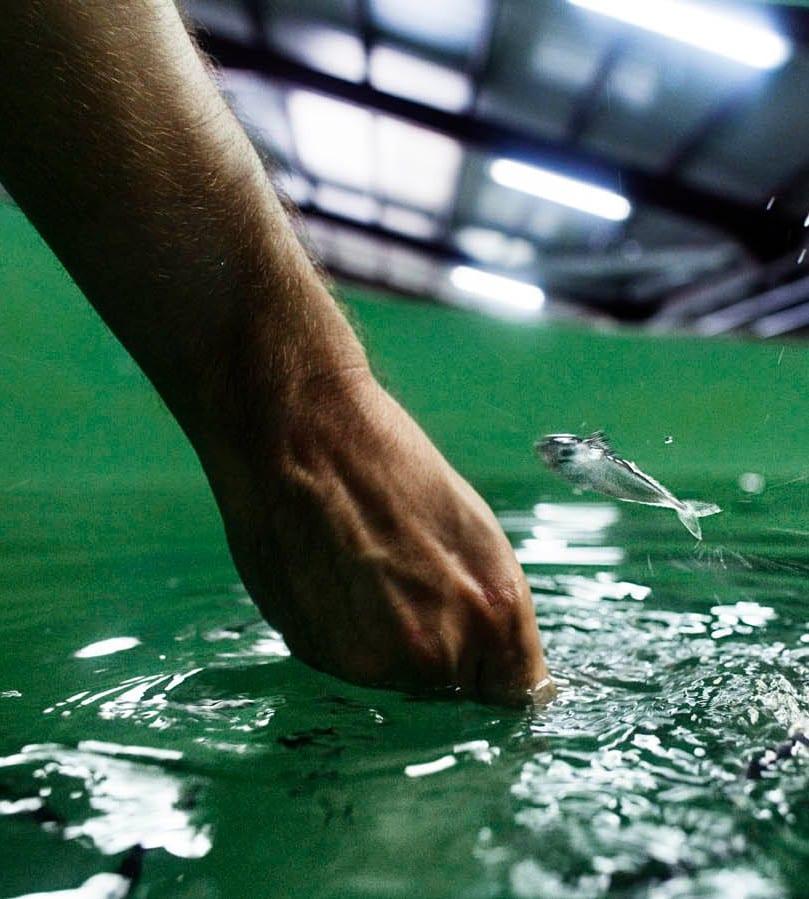 Pez en una instalación acuícola