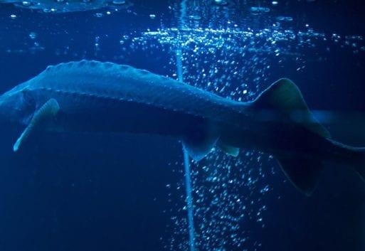 El esturión y su caviar, el valioso tesoro de la acuicultura continental