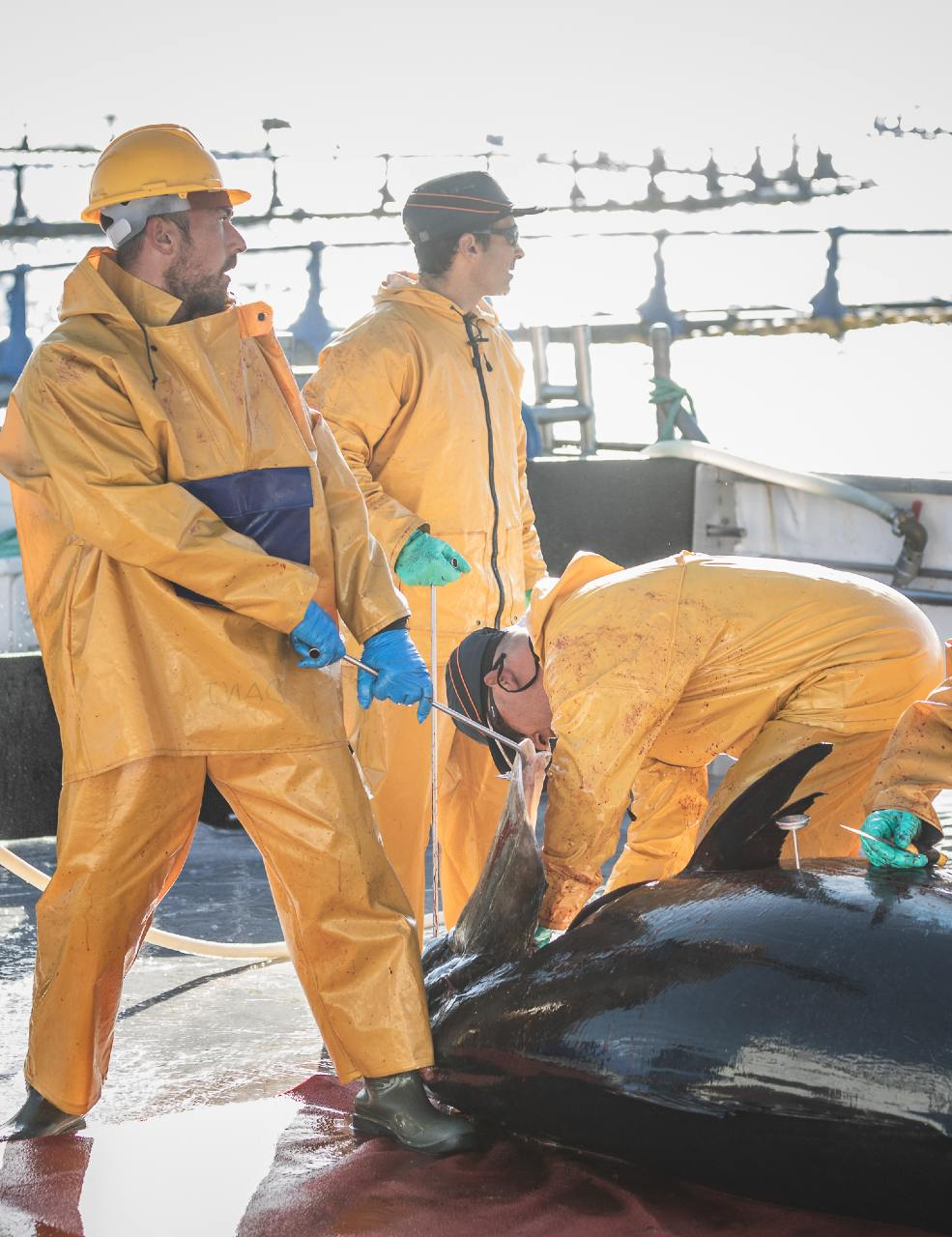 Acuicultor de atún rojo de cultivo