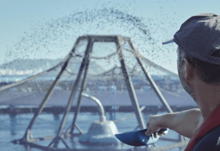 peces alimentandose en acuicultura de españa