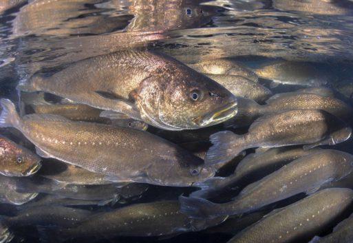 Corvina de acuicultura, el pescado blanco tan apreciado por los chefs